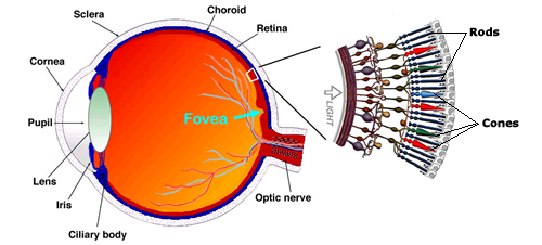 eyeretfovearc