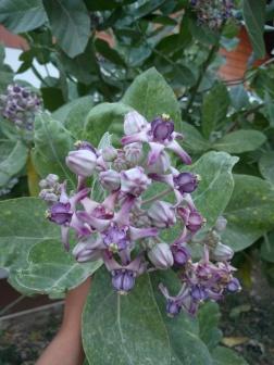 Caloptris gigantea (Crown Flower)